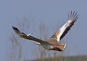 The Great Bustard Project - Bird